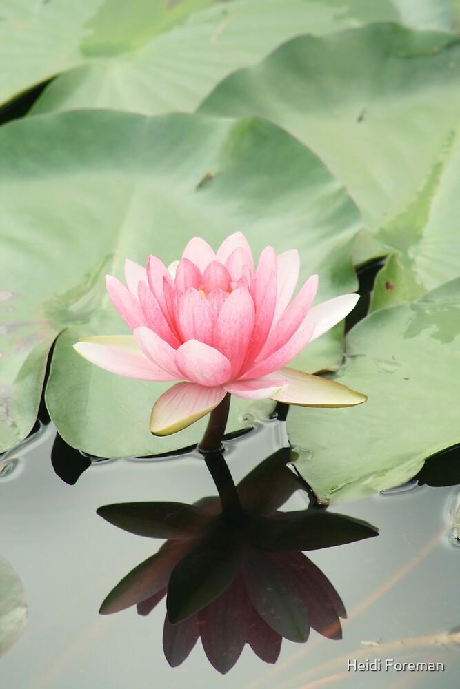 Pink Lilly - Mapleton Pond - Qld by Heidi Foreman