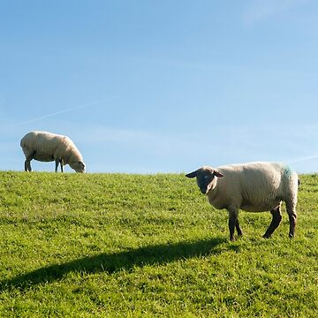 Sheep graze on the dike  by stuwdamdorp
