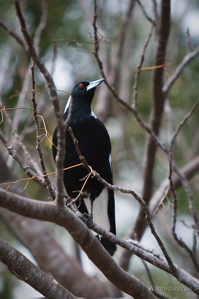 Australian Magpie by WantedImages