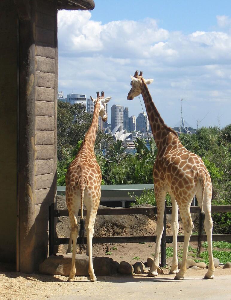 Giraffes checking out Sydney, Australia. by Lozzie5243