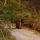 wallaby by Andrew Hennig
