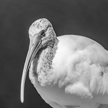 Close up of a black and white Ibis by KensLensDesigns