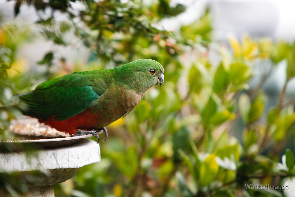 Australian King Parrot - Female by WantedImages
