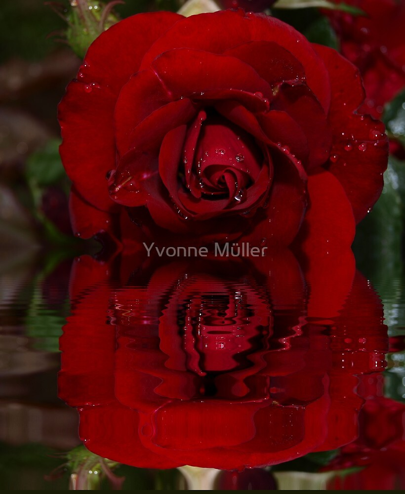 The Rose of my Love by Yvonne Müller