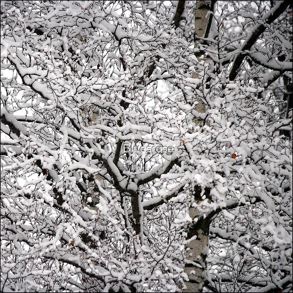 Birches by Bluesrose