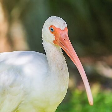 American white ibis of Blossom Trail by KensLensDesigns