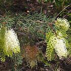 Grevillea annulifera (Prickly Plume Grevillea) by lezvee