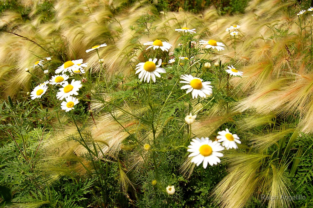 Daisies in the Wind by Ralph Angelillo