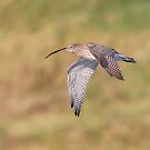 Curlew by peaky40