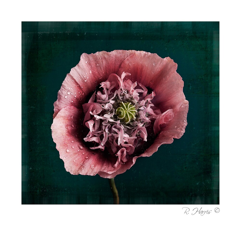 Poppy by rharris-images