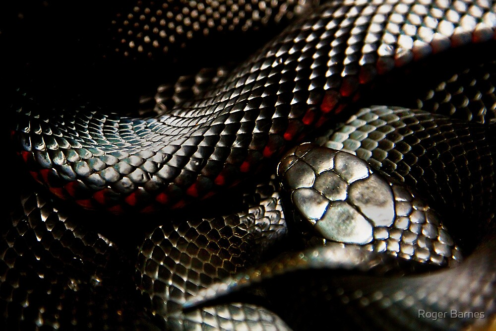 Red-bellied Black Snake - Pseudechis porphyriacus by Roger Barnes