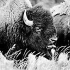 Yellowstone Bison by heidiannemorris