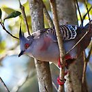 Crested Pigeon by myraj