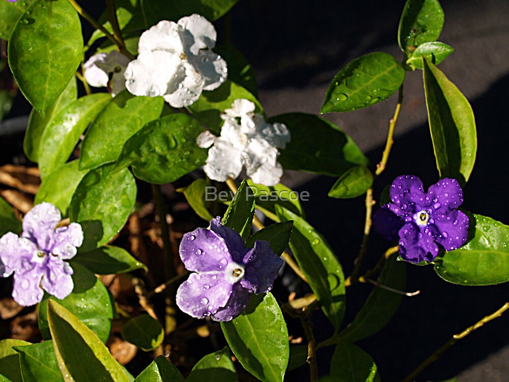 Yesterday, Today and Tomorrow (Brunfelsia) by Bev Pascoe