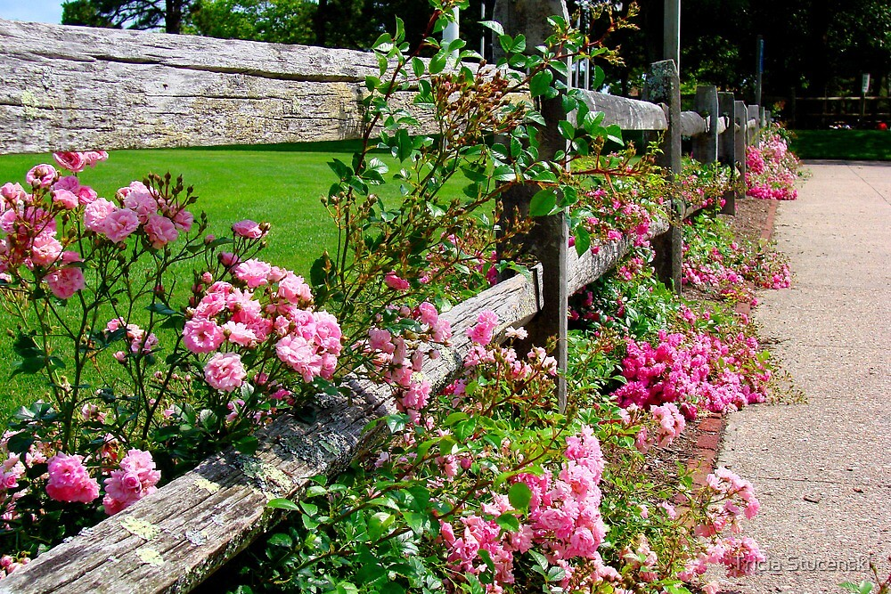 Rose Fence by Tricia Stucenski