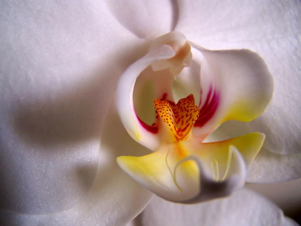 White Orchid by CaptKremmen