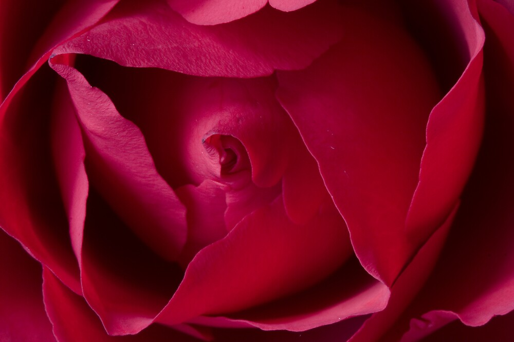 Rose by Michael Hadfield
