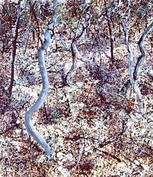 Wild Bush 1. by Richard  Tuvey