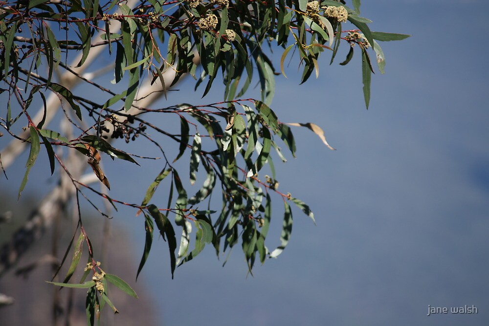 gum tree close up by jane walsh