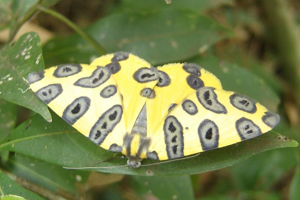 Borboleta - Onça Butterfly. by AluisioRibeiro