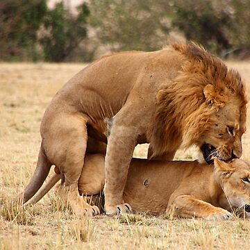 """Nibble, Nibble"".  Lions Copulating, Maasai Mara, Kenya by Carole-Anne"