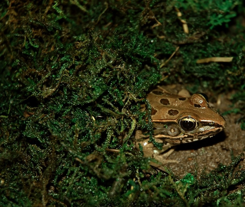 Leopard Frog by Laura1957