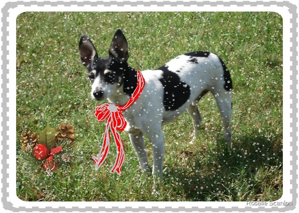 Christmas Card, Rat Terrier by Rosalie Scanlon