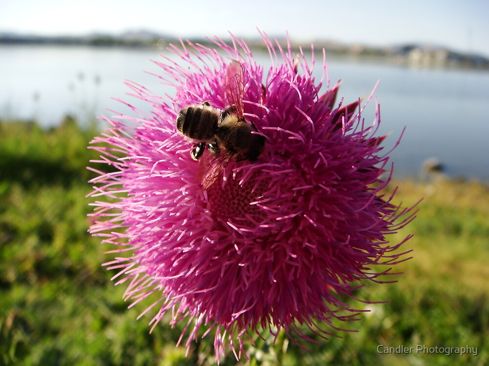 Paintbrush Busy Bee by Candler Photography