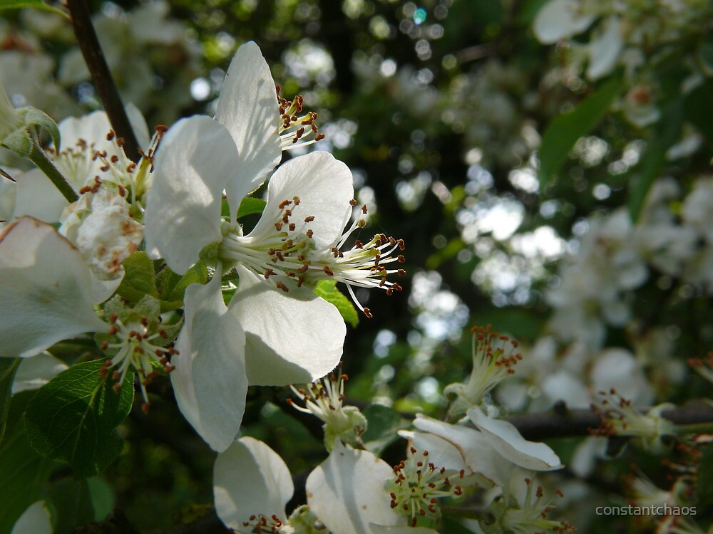 Apple Blossoms by constantchaos