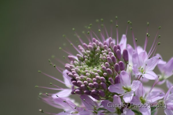 Bursting Bloom by Candler Photography