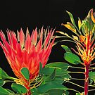 Protea by Doug Cliff