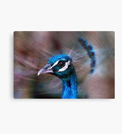 Mr Peacock up Close  Metal Print