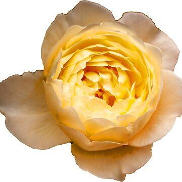 Lemon Pink Rose by Dalyn