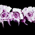 roses are ... purple by wigs