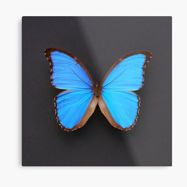 Blue Morpho Butterfly symmetry on black Metal Print