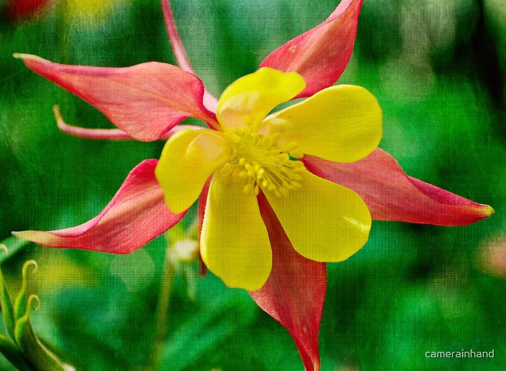 Starburst Flower by camerainhand