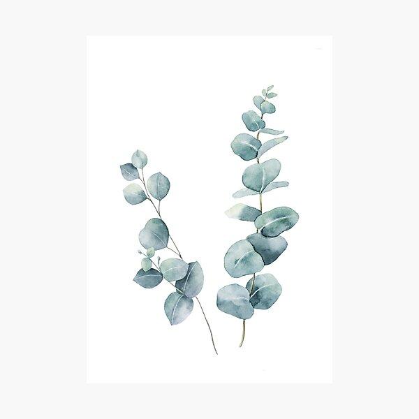 Eucalyptus Leaves Photographic Print