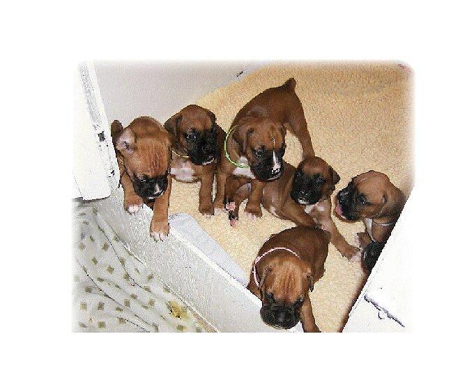 Boxer pups by PapasGirl