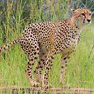 Cheetah - WildAfrika by WildAfrika