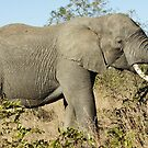 Elephant Eating - WildAfrika by WildAfrika