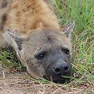 Hyena Portrait - WildAfrika by WildAfrika