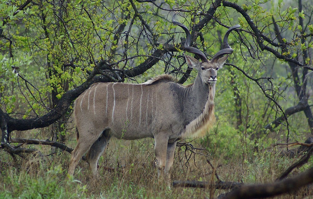 Kudu - WildAfrka by WildAfrika