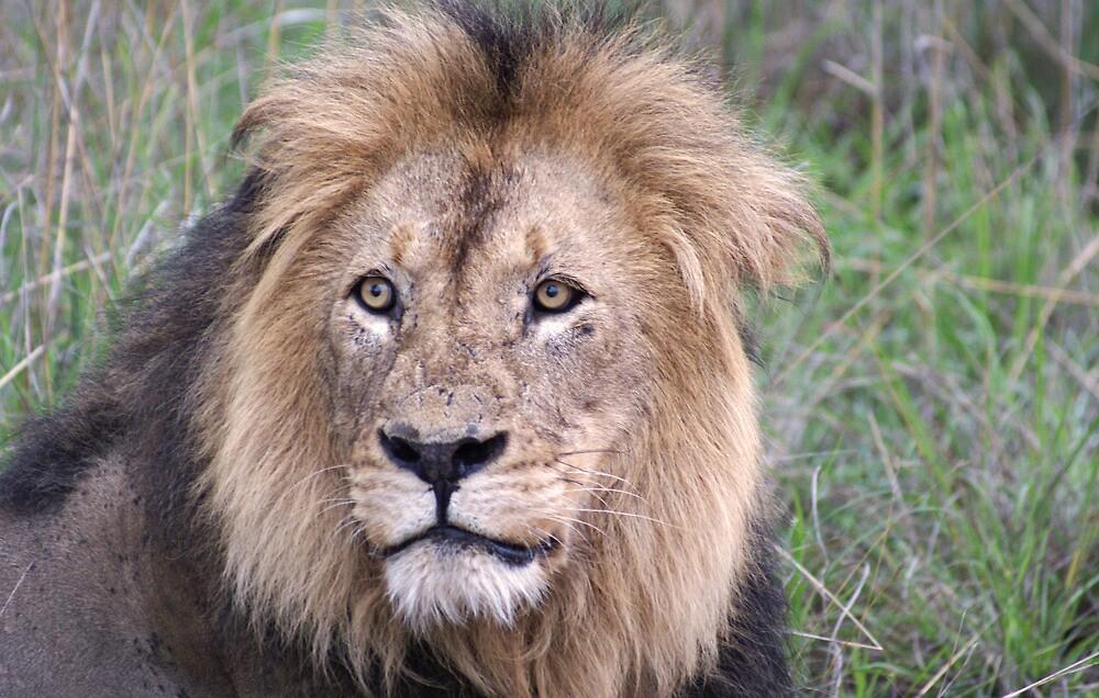 Lion Portrait - WildAfrika by WildAfrika
