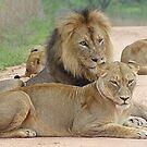 Lion Pride - WildAfrika by WildAfrika