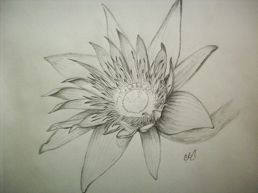 Water Lily by ripinamberlost