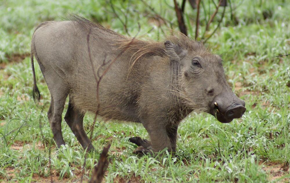 Warthog - WildAfrika by WildAfrika