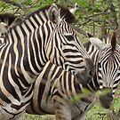 Zebra - WildAfrika by WildAfrika