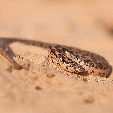 Javelin sand boa (Eryx jaculus) in the sand by PhotoStock-Isra
