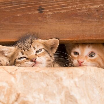 Two kittens in hiding under a wooden plank by PhotoStock-Isra