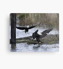 Pair of Eagles at Mealtime Metal Print